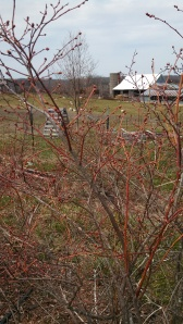 The buds on the blueberry bushes are swelling